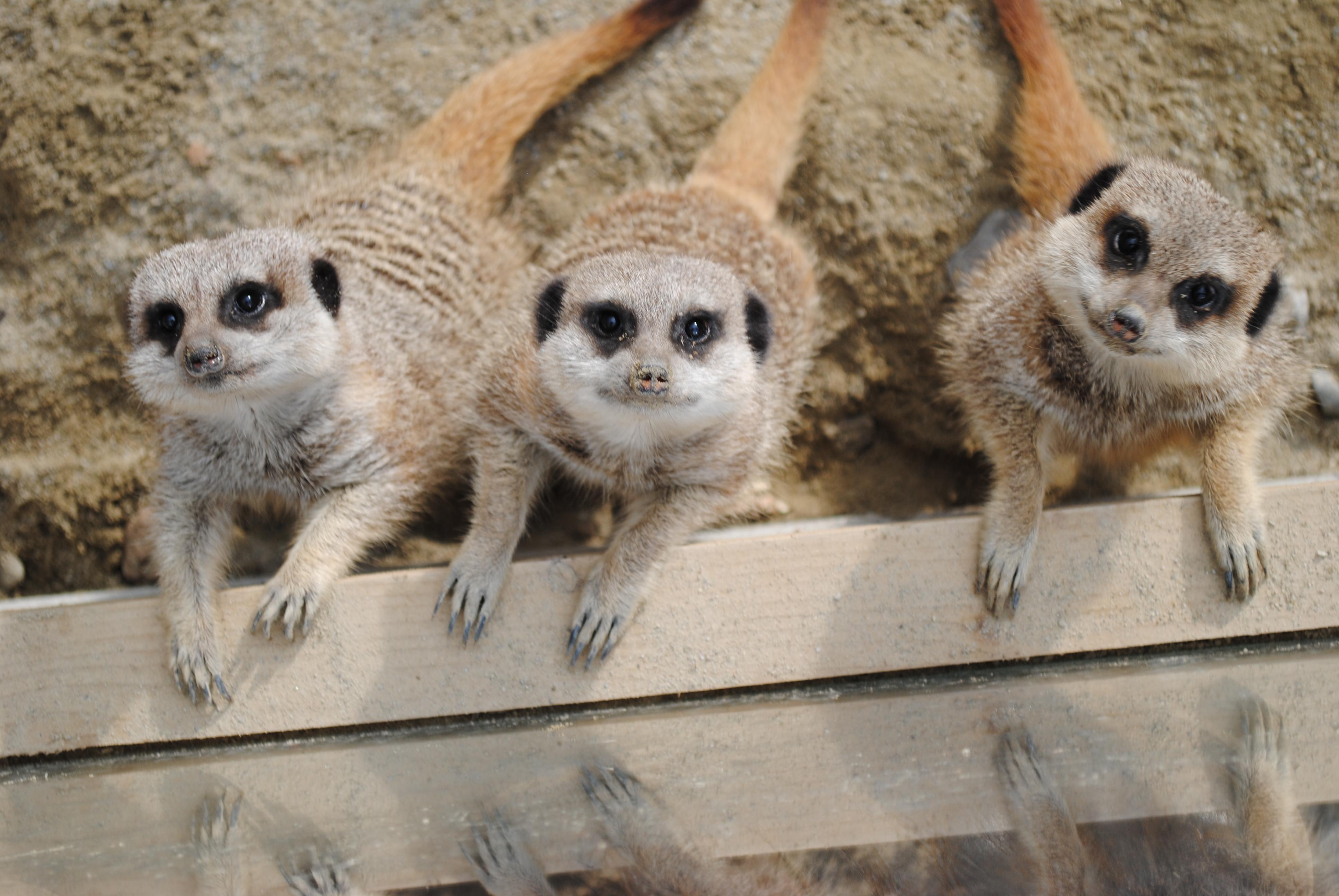 meerkats rumleys